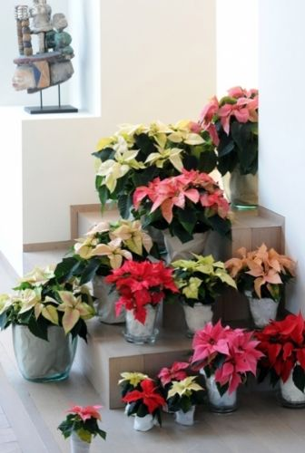 Poinsettia of Kerstster